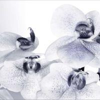 AG Design Fototapet Orchids